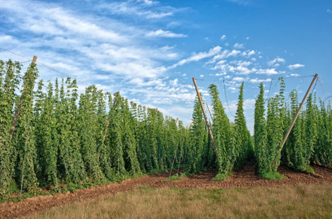 How to Make a Hoppy Beer? Dry Hopping