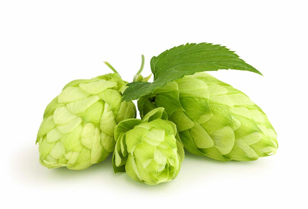 Beer Hops Cones